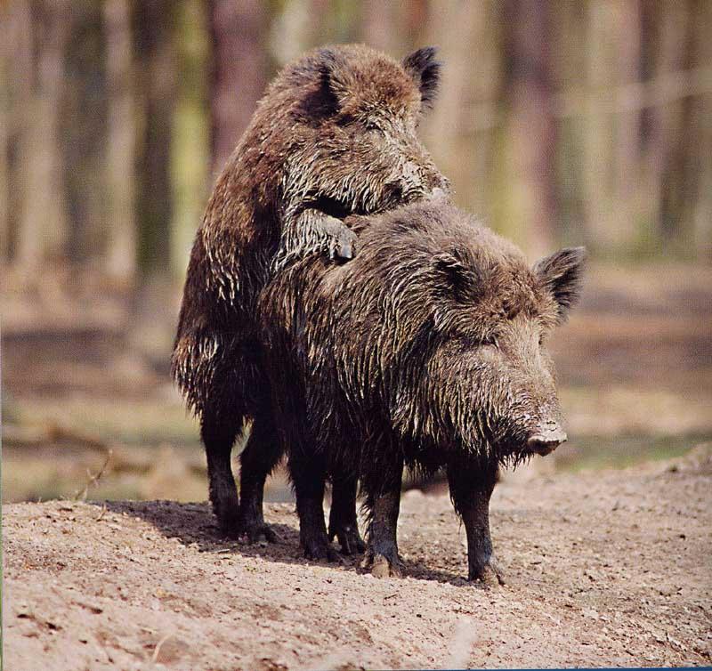 http://www.hedweb.com/animimag/amorous-pigs.jpg