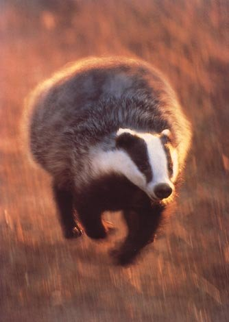 photograph of a racing badger