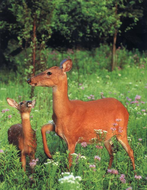 HerbWeb Deer: photograph of a baby deer and her mother
