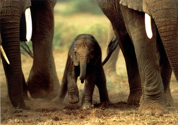 Elephants Animal Animals Calf: Baby Elephant