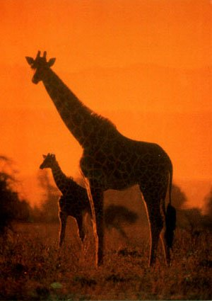 pictures of giraffes in africa. photo of giraffes on Africa savannah