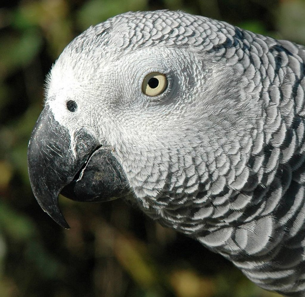 grey parrot - Coloring of Parrots