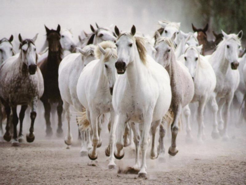 White horses galloping