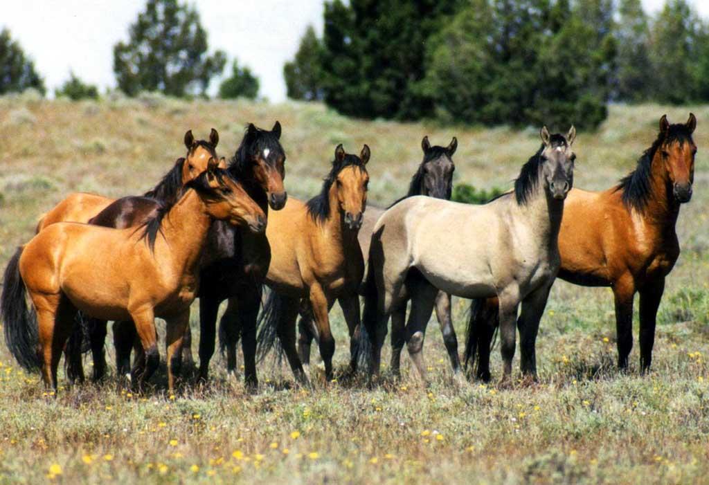 Group Of Wild Horses