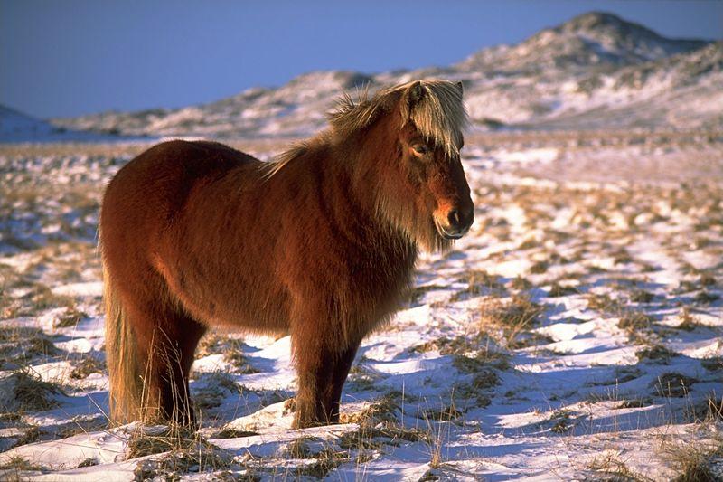 image: icelandic-horse