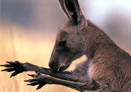 حديقة حيوانات المركز الدولى  Kangaro2