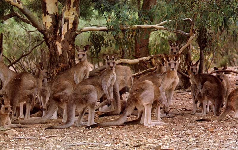 What is a group of kangaroos called - Answerscom
