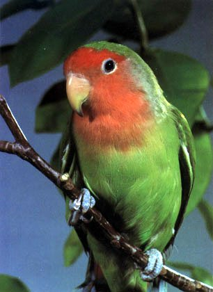lovebird - Coloring of Parrots