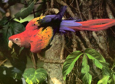 photograph of a scarlet macaw