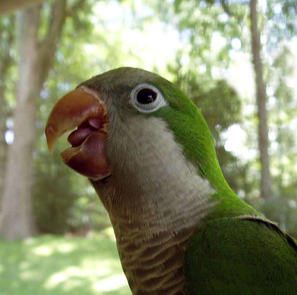 indian animals of monk parakeet photos