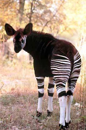 okapi  images