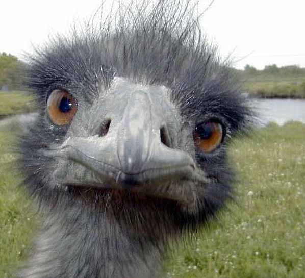 Close up photo of ostrich