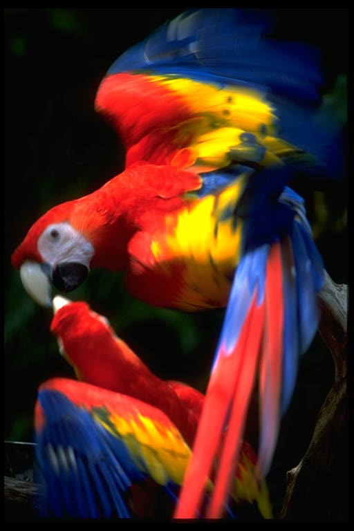 parot2 - Coloring of Parrots