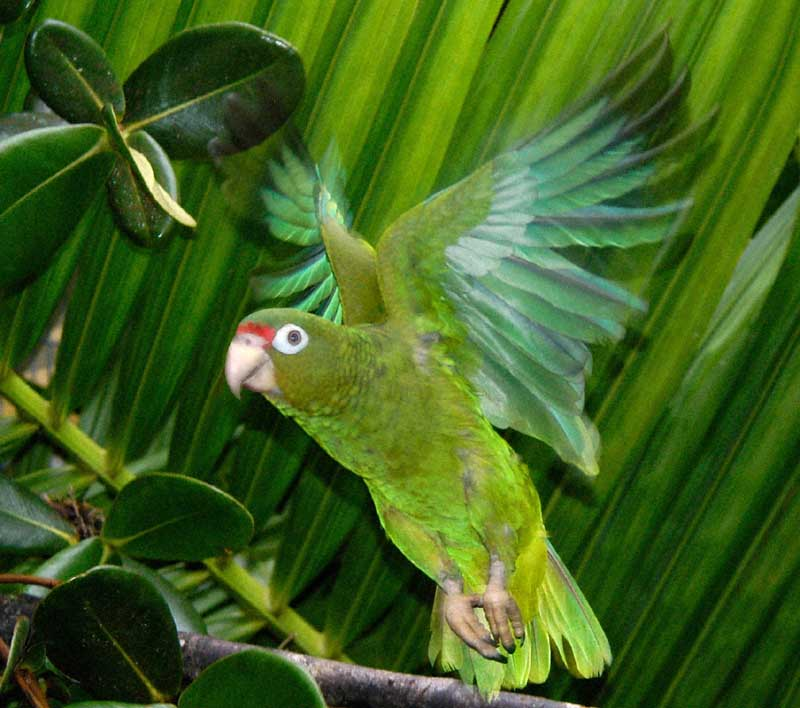 Herbweb Parrots Photo Of A Parrot In Flight