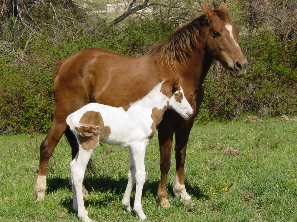 Pinto Horse Pictures Pinto Horse
