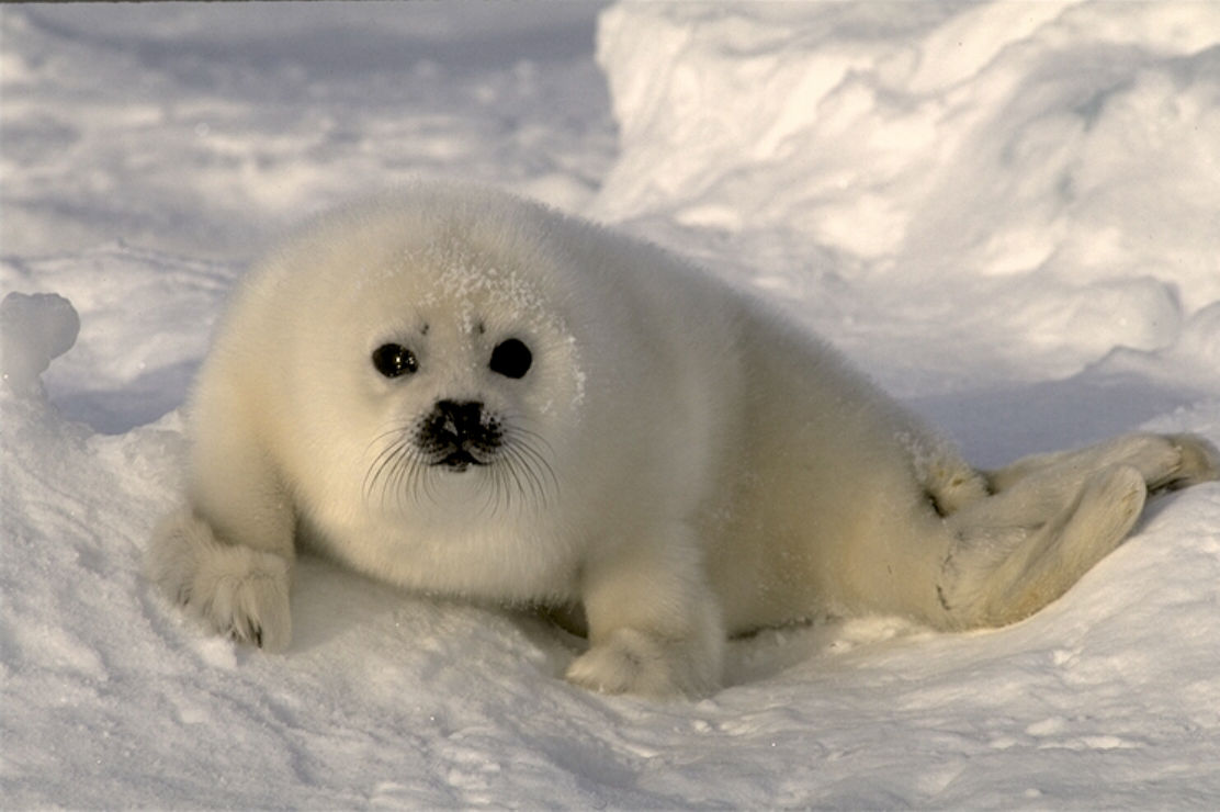 photo of a baby seal pup