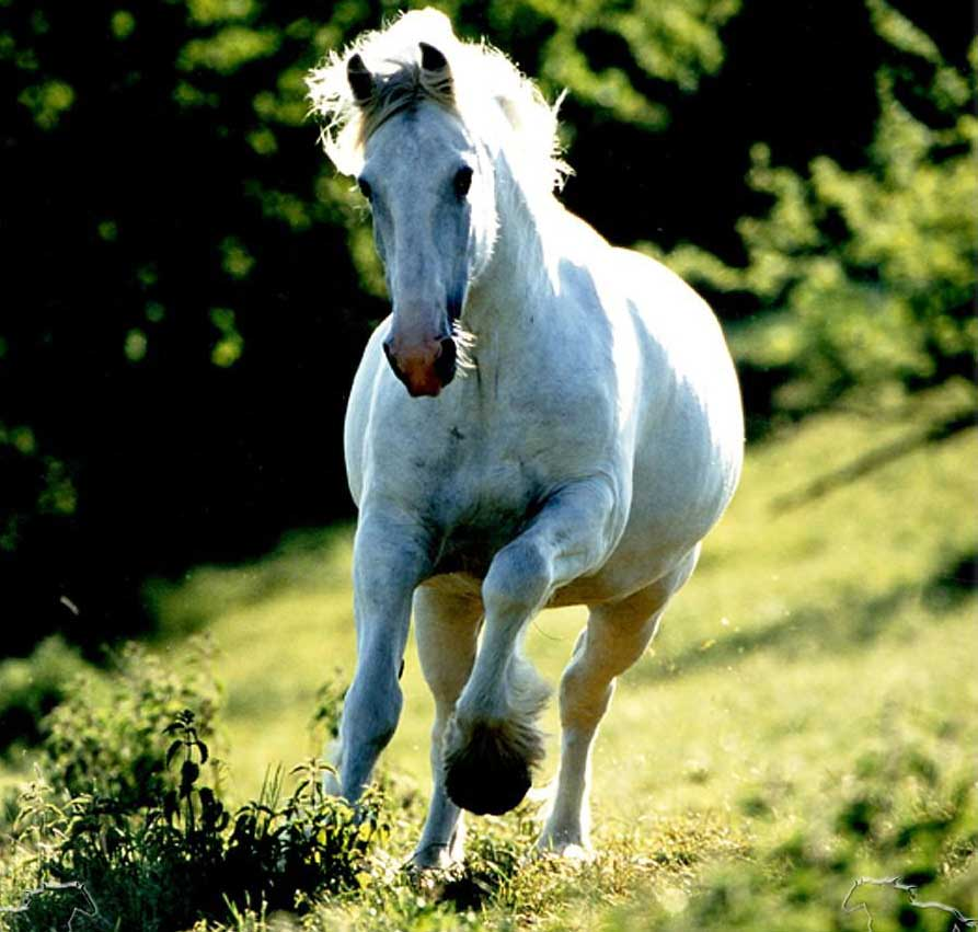 Photo of a shire mare