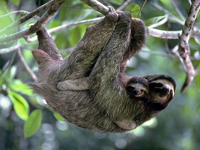koala sloth