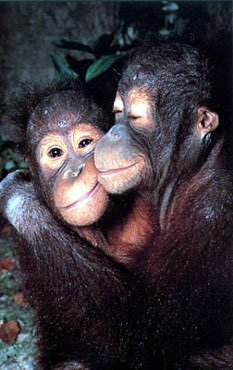 photograph  of two cute chimps