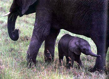 photo of baby elephant and its mother