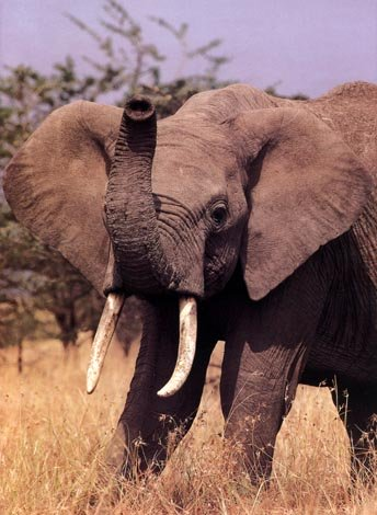 photo of male African elephant