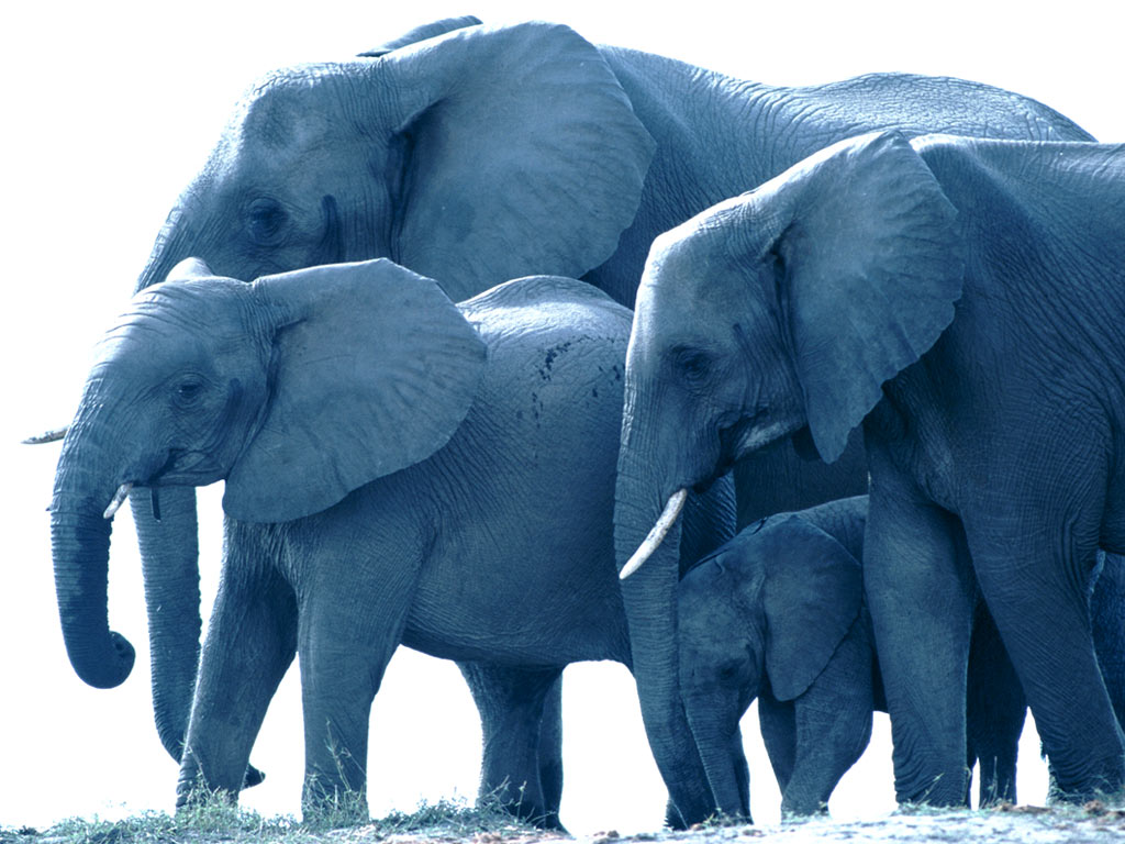 a family of african elephants