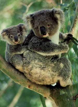 photo of koala and her baby