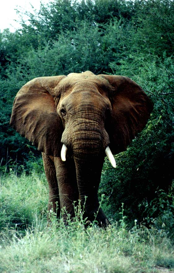 photograph of an African elephant