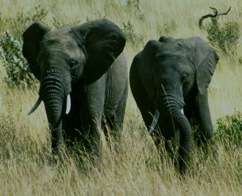 elephants in the grass photo