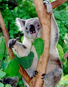photograph of a koala having a munch