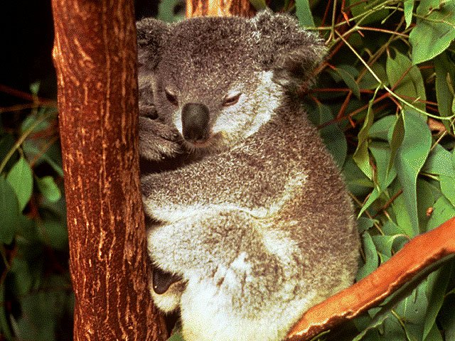 Photo of a sleepy koala