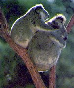 photo of kool koalas