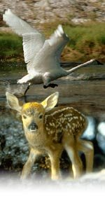 image of fawn and swan