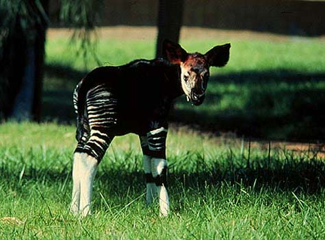 photo of young okapi