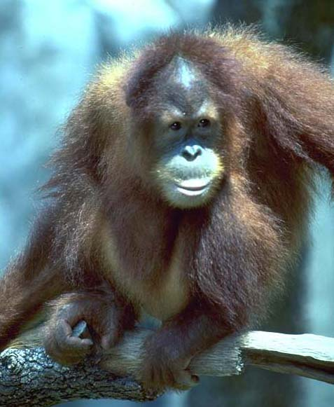photo of orang-utan