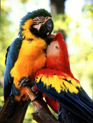 paralove - Coloring of Parrots