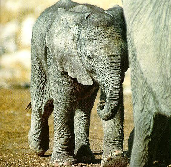 photograph of elephant calf