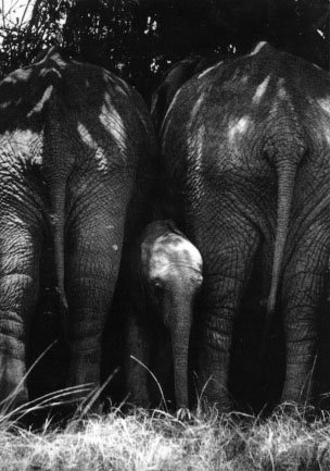 photograph of protective elephants