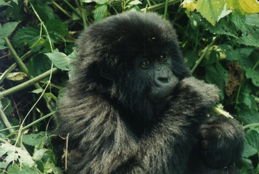 photography of a young gorilla