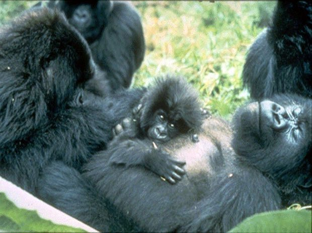 photograph of a family of gorillas