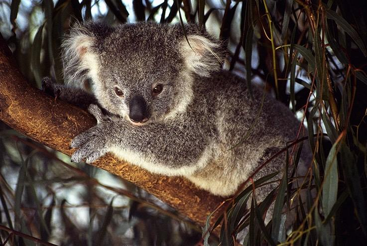 photograph of a cute koala