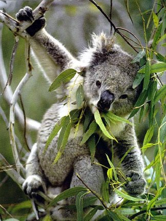 photo of acrobatic koala