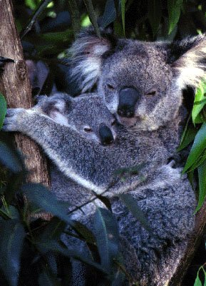 photo of two excellent koalas
