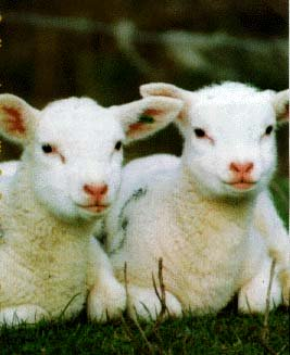 photo of two young lambs