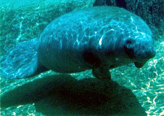 photograph of manatee