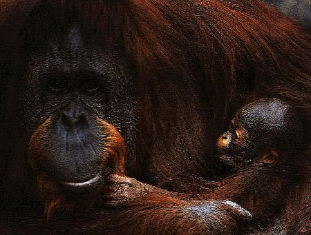 photo of orangs