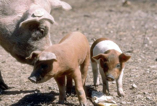 photo of two young piglets