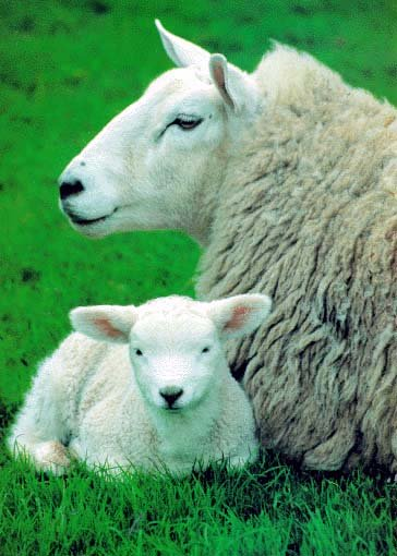 photograph of ewes