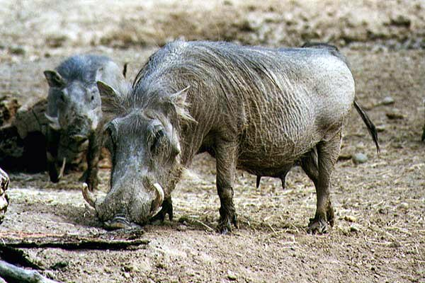 picture of an amiable warthog