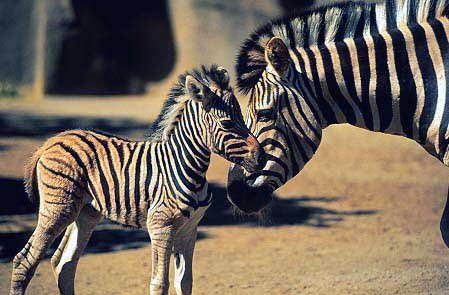 photo of zebra and her baby